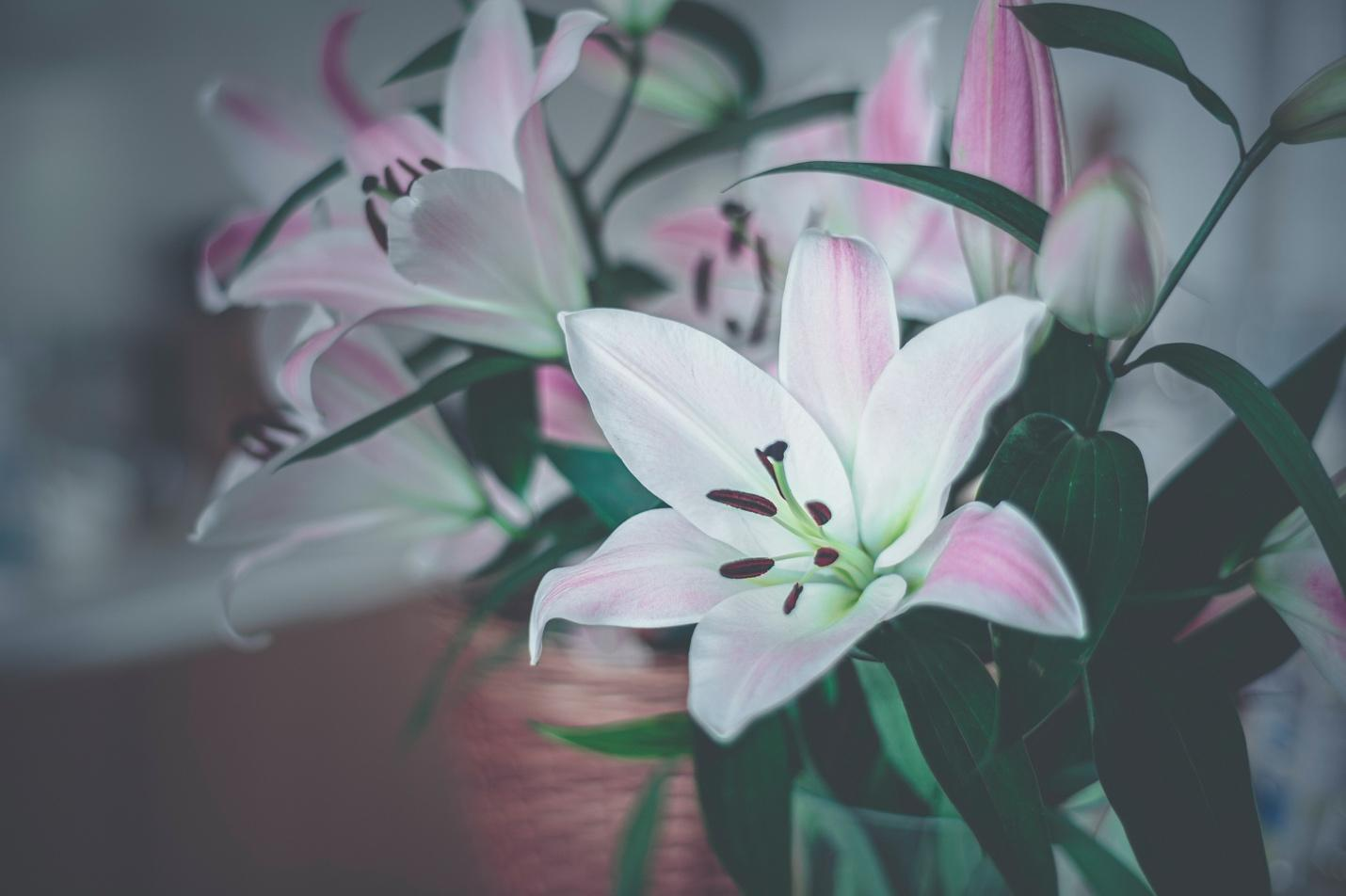 Pink Lily Varieties
